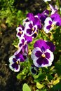 White and purple Viola tricolor pansy flowers on flowerbed