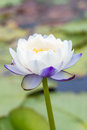White and purple water lily or lotus flower. Royalty Free Stock Photo