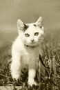 White pussy cat at the walk sepia small kitty in grass composition has big eyes and black spots Stock Photo