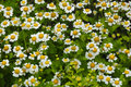 White pyrethrum parthenium Stock Images
