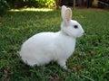White rabbit Royalty Free Stock Photo
