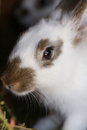 White rabbit with black spots. Stock Photo