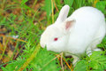 White rabbit cute with red eye in wild Royalty Free Stock Photo
