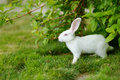 White rabbit on a green grass cute Royalty Free Stock Images