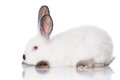White rabbit with grey ears on Stock Photo