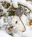 White rabbit hid under a shrub Stock Image