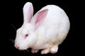 White rabbit isolated on black background with clipping paths Stock Photo