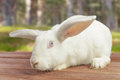 White rabbit outdoor cute sits on a wooden table on nature Royalty Free Stock Photo