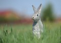 White rabbit sits Royalty Free Stock Photos