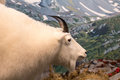 White Ram Over Mountains