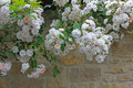 White rambler roses hanging over a stone wall of natural stones Royalty Free Stock Photography