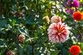 White red dahlia flower Royalty Free Stock Photo