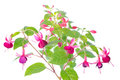 White and red fuchsia flower isolated on background Royalty Free Stock Photography