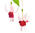White and red fuchsia flower isolated on background de brommel Stock Images