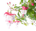 White and red fuchsia flower isolated on white background Royalty Free Stock Photo
