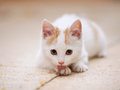 White with red the kitten licks a paw. Royalty Free Stock Photo