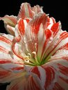 white and red Lily close up Royalty Free Stock Photo