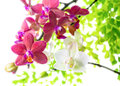 White with red phalaenopsis with green leaves is isolated on background Stock Photography