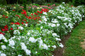 White and red roses in garden Royalty Free Stock Photo