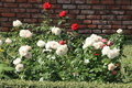 White and red roses in the garden Royalty Free Stock Photo
