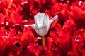 White red tulip Royalty Free Stock Photo