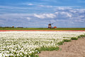 White red tulips and dutch windmill tulip fields over blue sky alkmaar north holland Stock Photo