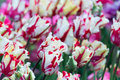 White and red tulips Royalty Free Stock Photo