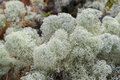White reindeer moss photo, star-tipped Reindeer Lichen, Cladina stellaris. Arctic boreal zone Royalty Free Stock Photo