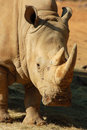 White Rhino in Africa Royalty Free Stock Photo