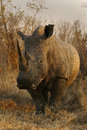 White rhino bull a photographed at last light while on safari in south africa Stock Photos