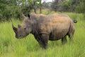 White Rhino Royalty Free Stock Photo