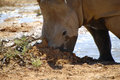 White rhino digging in dirt an orphaned african baby enjoys the freedom of life as he digs his nose into the beside a mud pool Stock Photography