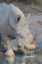 White rhino drinking in kruger national park with water drops Stock Images