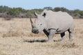 White rhino in the dry savanna of khama sanctuary botswana africa Stock Photography