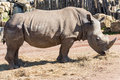 White rhino eating hay in a zoo Royalty Free Stock Photo