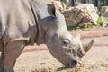 White rhino eating hay in a zoo head shot Royalty Free Stock Photos