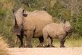 White rhino family Royalty Free Stock Photo