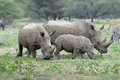 White rhino family grazing on grass field Royalty Free Stock Photo