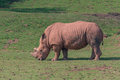 White rhino a grazing on grass Stock Image