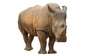 White rhino has a wide mouth used for grazing and is the most social of all species Royalty Free Stock Photo