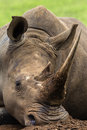 Rhino Head Horn Close Detail Royalty Free Stock Photo