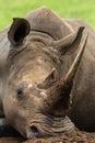 Rhino Head Horn Close Detail Royalty Free Stock Photo