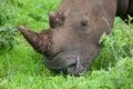 White Rhino head Royalty Free Stock Photo