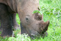 White Rhino head Royalty Free Stock Photo