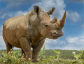 White rhino the massive a great angle shot Royalty Free Stock Photo