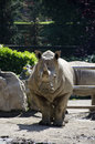 White rhino portrait in a park Royalty Free Stock Photos