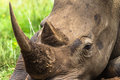 White Rhino Head Close Royalty Free Stock Photo