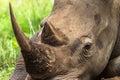 White Rhino Head Close Royalty Free Stock Photo