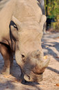 White rhino rhinos have sharp hearing and a keen sense of smell Royalty Free Stock Photo