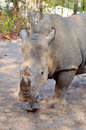 White rhino rhinos have sharp hearing and a keen sense of smell Royalty Free Stock Photos